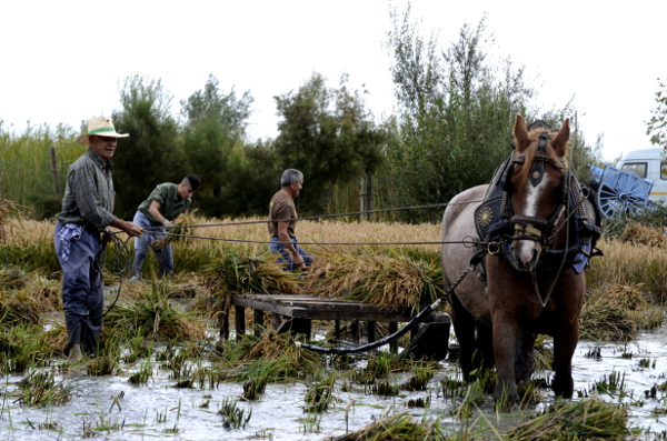 Fotos Delta del Ebro. Siega del arroz, caballo