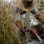 Fotos Delta del Ebro. Siega del arroz, con la hoz