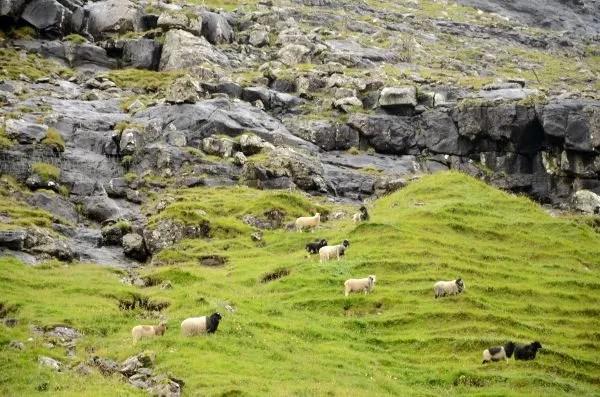 Fotos Islas Feroe, Saksun. Ovejas