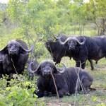 Fotos Parque Kruger Sudáfrica, búfalos