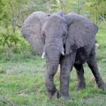Fotos Parque Kruger Sudáfrica, elefante