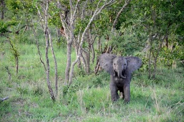 Fotos Parque Kruger Sudáfrica, elefantito