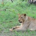 Fotos Parque Kruger Sudáfrica, leona descansando
