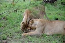 Fotos Parque Kruger Sudáfrica, leonas jugando