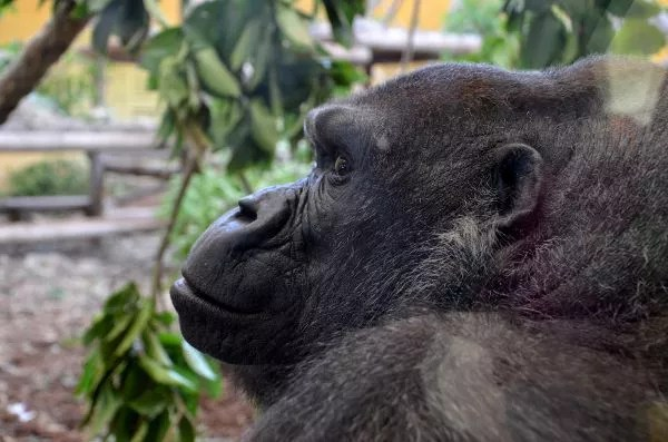 Fotos Parque de Cabárceno en Cantabria, gorila
