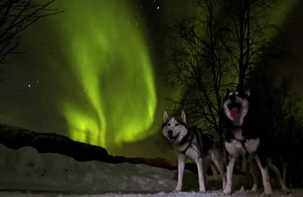 Fotos-de-Auroras-Boreales-en-Noruega-huskys-en-Alta ▷ El mejor lugar de Noruega para ver la aurora boreal