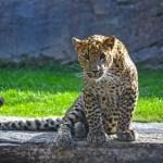 Fotos de BIOPARC Valencia, cachorro de leopardo