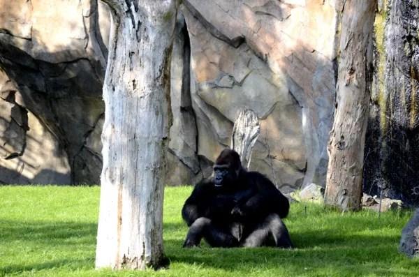 Fotos de Bioparc Valencia, gorila