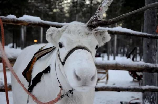 Fotos de Laponia Finlandesa, reno blanco