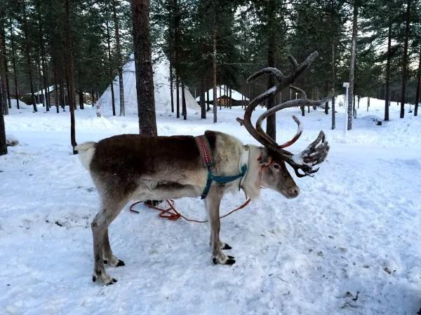 Fotos de Laponia Finlandesa, reno con grandes cuernos
