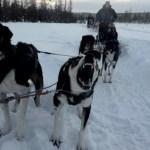 Fotos de Laponia Finlandesa, trineo de perros husky