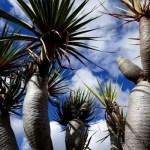 Fotos de Las Palmas de Gran Canaria, dragos