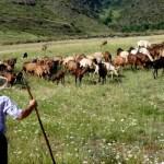 Fotos de Pirineo de Lleida, Pastor y cabras