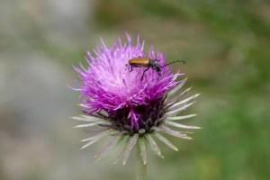 Fotos de Pirineo de Lleida, flor y abeja Aiguestortes