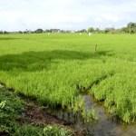 Fotos de Tailandia - crucero desde Ayutthaya, campos de arroz