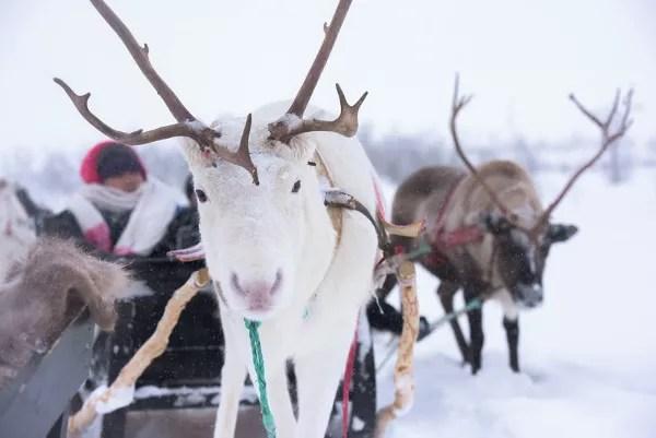 Fotos de Tromso en Laponia Noruega, renos