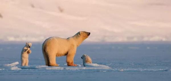 Fotos-de-las-Islas-Svalbard-osos-polares ▷ El mejor lugar de Noruega para ver la aurora boreal