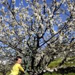 Fotos del Valle del Jerte, Agroturismo El Vallejo Oriol y el cerezo en flor