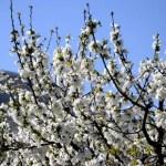 Fotos del Valle del Jerte, Agroturismo El Vallejo cerezos en flor