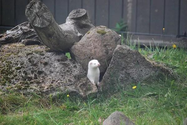 Nutria del zoo de Reikiavik