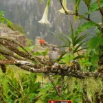 Pajarillo en Machu Picchu