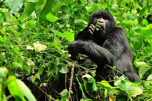 Parque nacional de la Selva Impenetrable de Bwindi (Uganda)