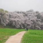 Precioso paseo lleno de cerezos en flor en Gyeongju