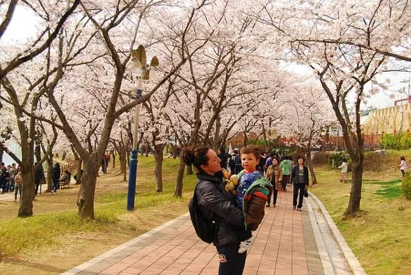 Vero y Teo bajo los cerezos en flor de Gyeongju