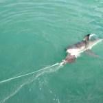 Fotos de bucear con tiburon blanco en Sudafrica, cebo