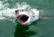 Fotos de bucear con tiburon blanco en Sudafrica, salto