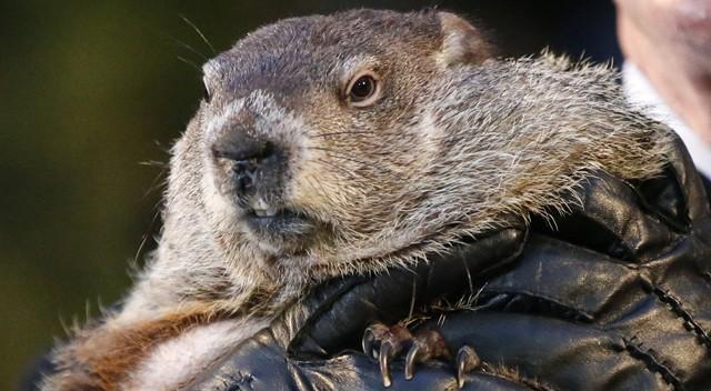Resultado de imagem para Marmota Phil