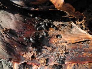 adultos picudo negro