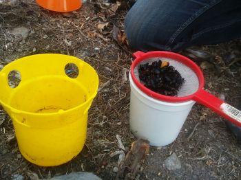 Revisión de trampa cebada con feromona específica para picudo negro