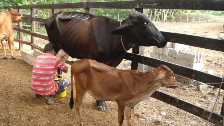 El verano ha desmejorado los ganados generando la reducción de la producción de leche.