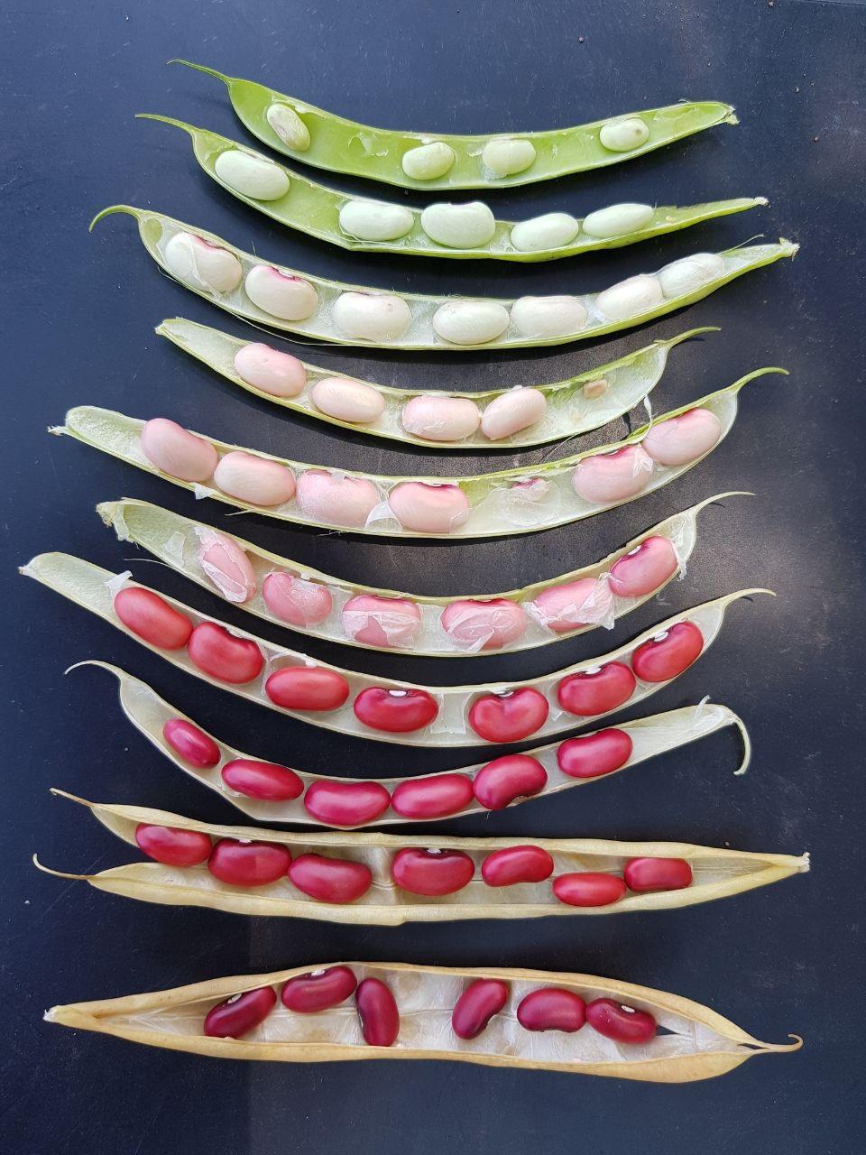 El fríjol biofortificado tiene tolerancia a la sequía.  FOTO CORTESÍA