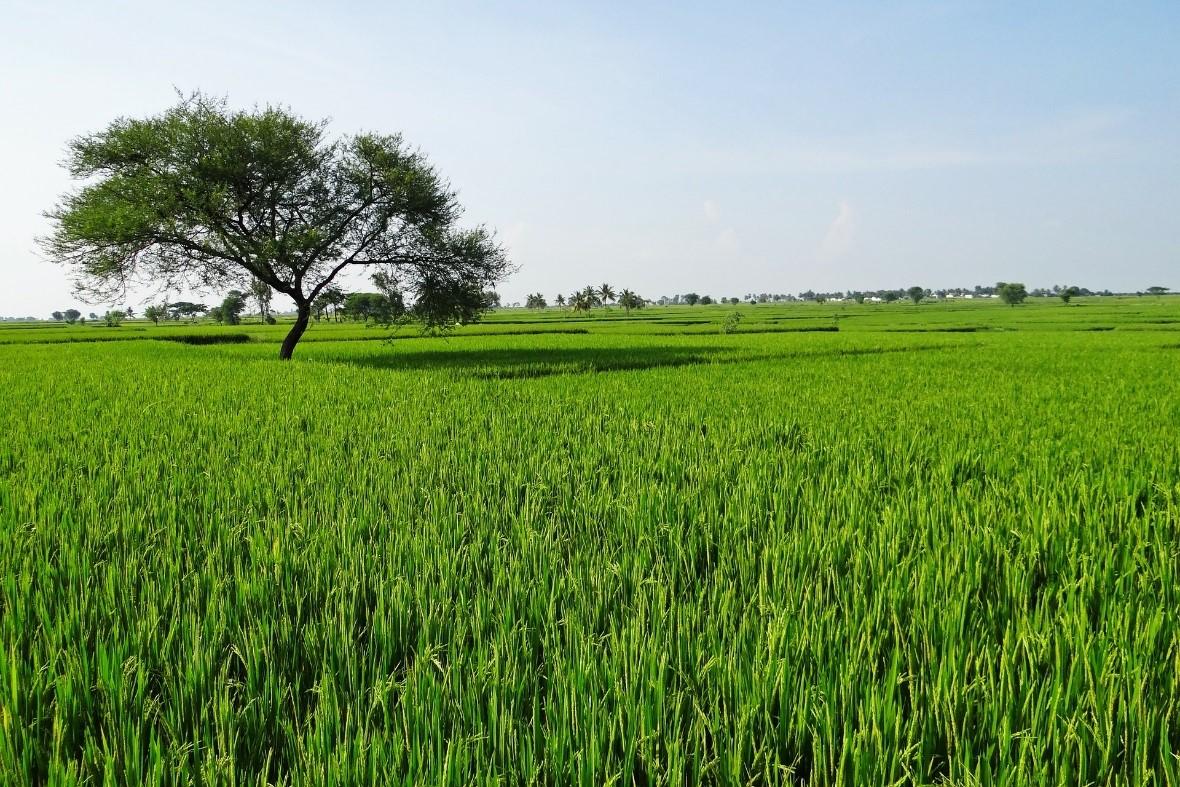 El arroz del Cesar y sur de La Guajira es de los mejores del país.  Referencia.