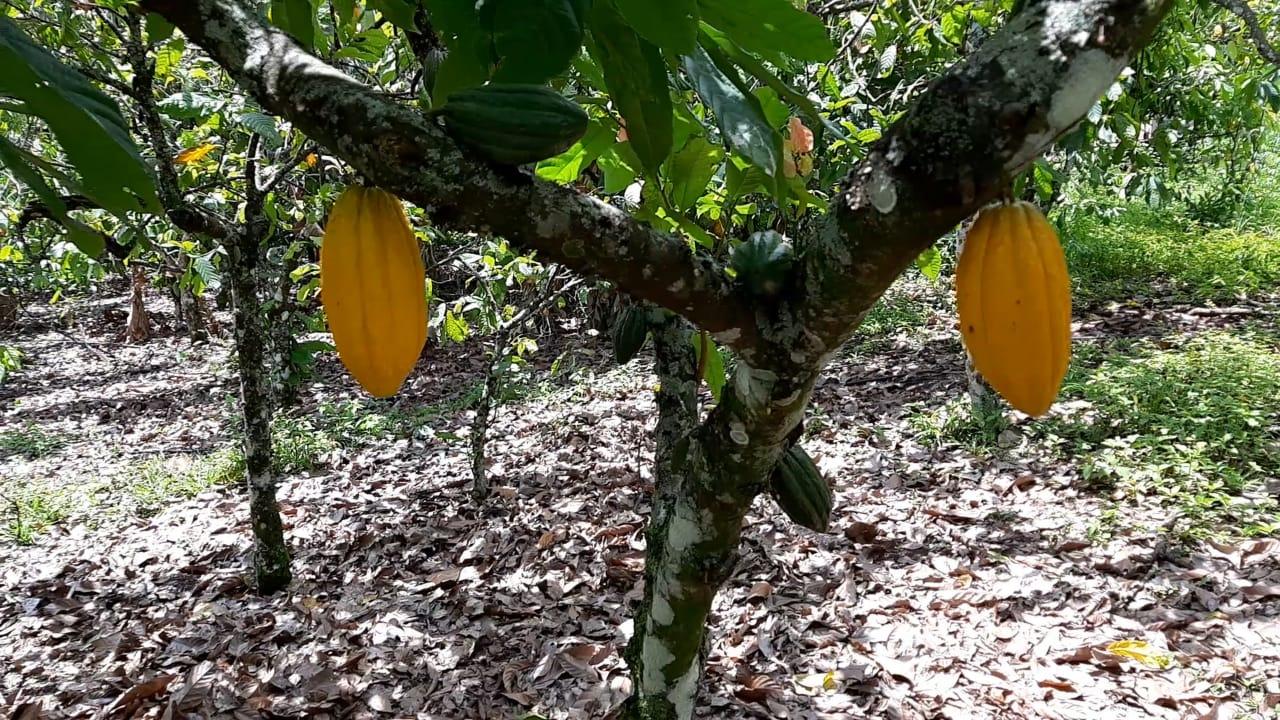 En el Cesar, 150 familias están mejorando sus prácticas en el cultivo de cacao.  Cortesía