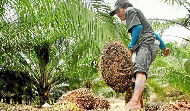El Cesar es uno de los principales productores de aceite de palma del país, con un aporte del 18 % en la producción.   REFERENCIA