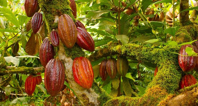 Cacaoteros de Manaure recibieron visita de inspección del ICA.  FOTO: ARCHIVO