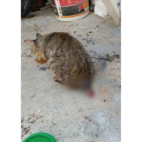 Al gato le cortaron la cola. Una fundación de la ciudad lo adoptará.  FOTO: CORTESÍA.