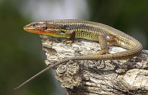 psammodromus-ailgirus