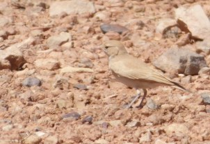 Bar-tailed Lark (Ammomanes cinctura) was as tame as always. Images by tour leader Carles Oliver