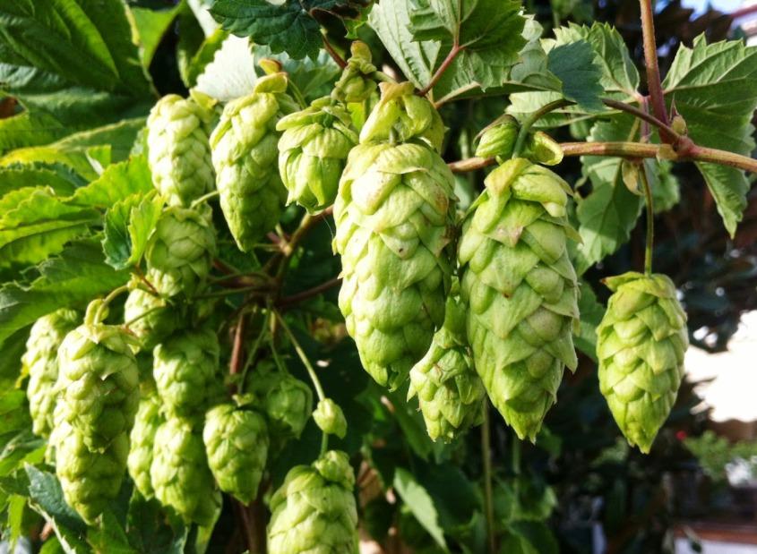 lúpulo-en-cascada-cerveza-alemana-El-Portal-del-Chacinado