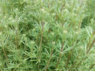 Amor del hortelano (Galium aparine)