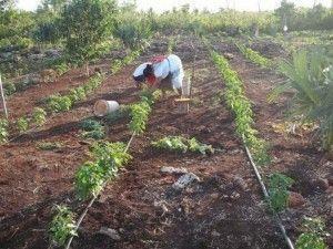Horticultores aseguran venta1