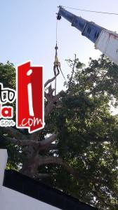 ceiba (5)