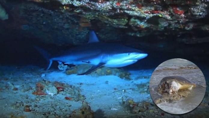 https://digitalnewsqr.com/tiburones-destrozan-a-una-tortuga-marina-en-cozumel/