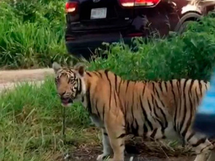 https://yucatanmagazine.com/tiger-on-the-run-near-cancun-sparks-concern/?utm_source=rss&utm_medium=rss&utm_campaign=tiger-on-the-run-near-cancun-sparks-concern