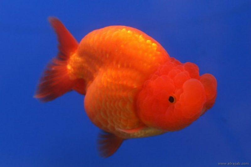 Jenis Ikan Mas Koki Rancu