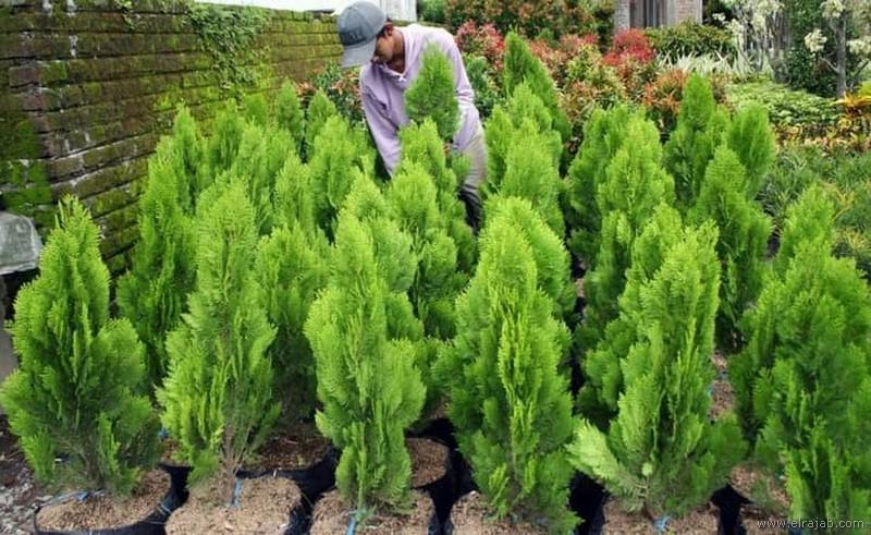 jenis pohon cemara pua pua
